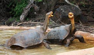 Illustration for article titled La tortuga gigante de las Galápagos le gana el pulso a la extinción