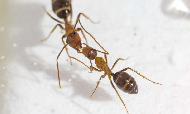 Ants Exchange Messages When They Make Out