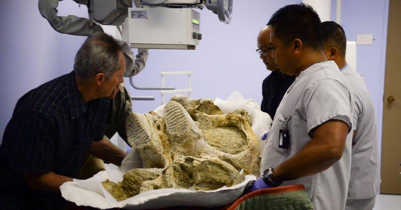 Illustration for article titled La delicada tarea de radiografiar a un mamut de medio millón de años