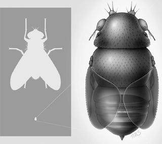 Illustration for article titled The world's smallest fly probably decapitates really tiny ants