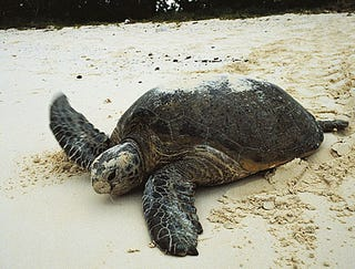 Illustration for article titled Nesting Sea Turtle Escorted From Private Beach