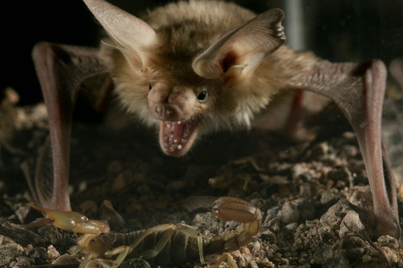 A pallid bat pouncing on a giant desert hairy scorpion, which is larger than the Arizona bark scorpion. (Image: Anand Varma)