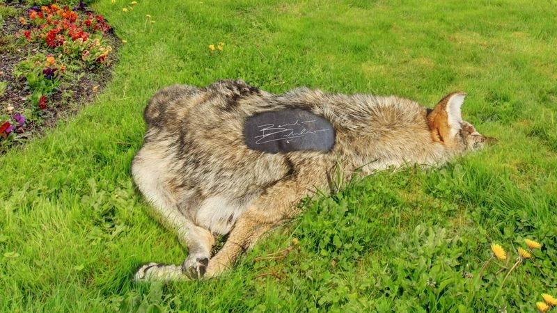 Illustration for article titled Dream Come True: This 'Sherlock' Fan Got The Surprise Of A Lifetime When Benedict Cumberbatch Left An Autographed Coyote Carcass On Her Lawn