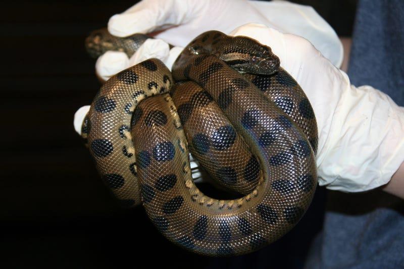 Una de las crías de Anna la Anaconda