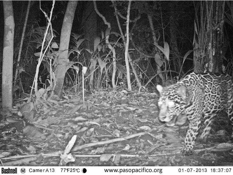 Illustration for article titled Scientists lure jaguars into camera traps with designer cologne