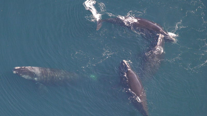 Four North Atlantic Right Whales. Image: Peter Duley, NEFSC/NOAA
