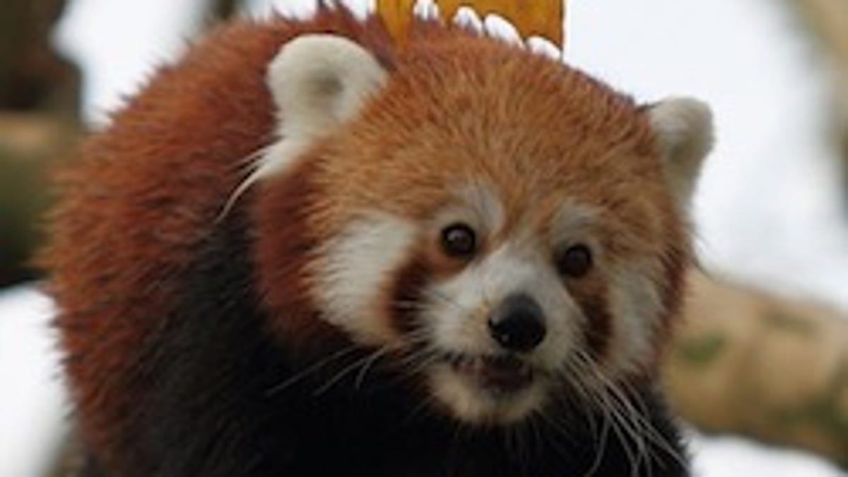 How Do Red And Giant Pandas Coexist The Secret Is In Their Skulls