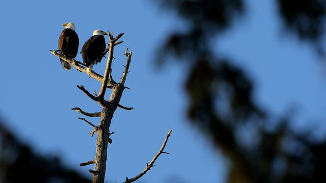 Mysterious Bald Eagle Killer Finally Identified