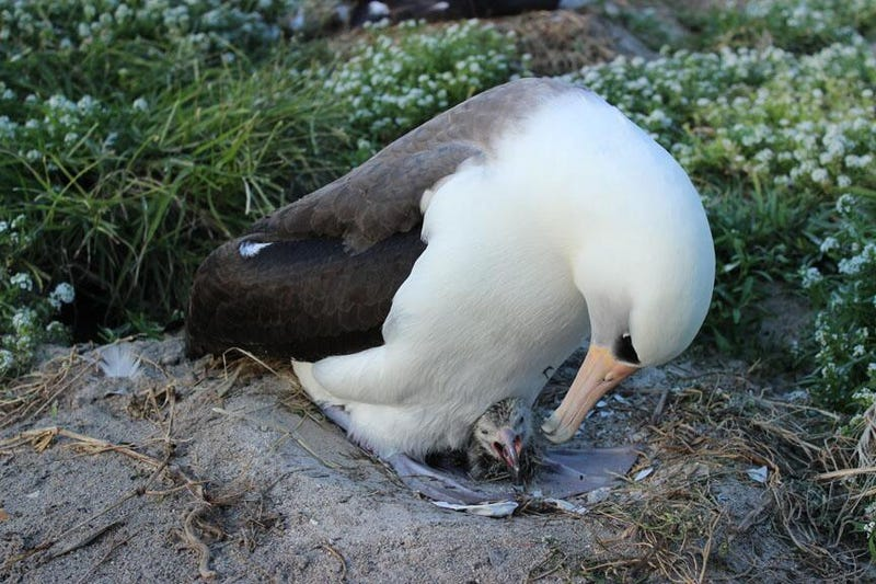 Illustration for article titled The world's oldest wild bird has given birth!