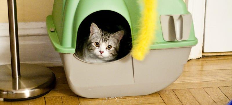 Illustration for article titled Un parasito intestinal de los gatos puede ayudar a prevenir el cáncer