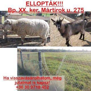 Illustration for article titled Elraboltak két celeb állatot Pesten. A birka és a kecske is sztár volt