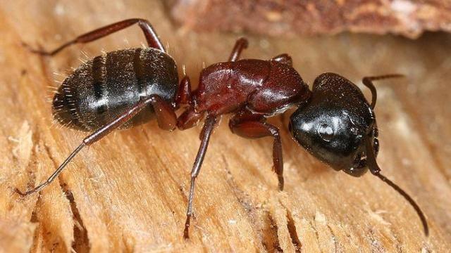 Ant gona lick it self