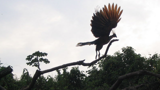 The hoatzin, the national bird of GuyanaWarren H./Wikimedia Commons