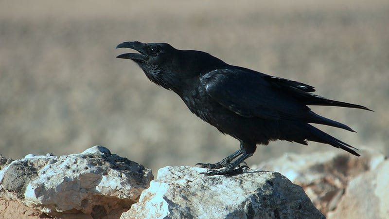 More Evidence That Ravens Are Ridiculously Intelligent Birds