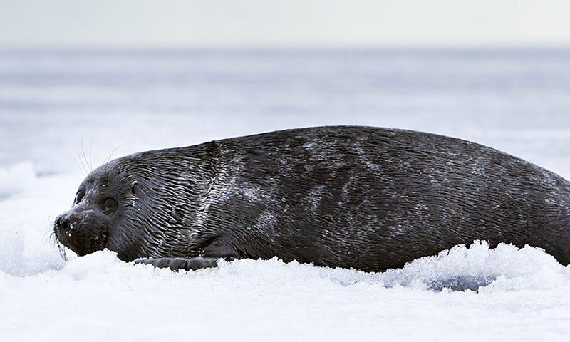 Una foca de Baikal. Foto: Wikipedia