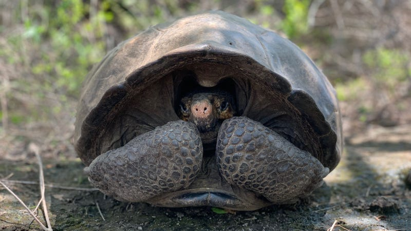The recently rediscovered Fernandina Giant Tortoise.