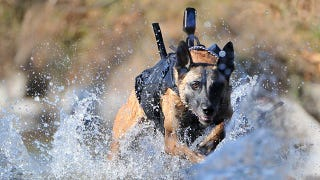 Illustration for article titled The Navy SEAL Team 6 Dog Is a Bigger Badass Than You
