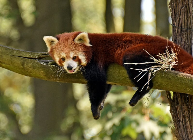This red panda lives in Germany: AP