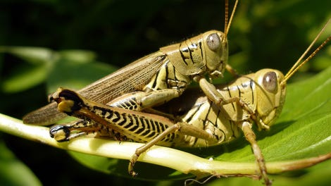 Do Insects Enjoy Sex?
