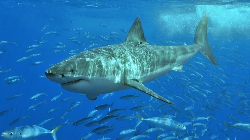 Illustration for article titled Acaban de decodificar el genoma del tiburón blanco, y explica por qué es una especie tan indestructible