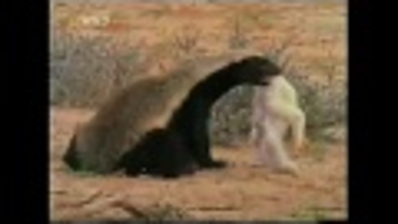 The scientific reason why the honey badger doesn't have to give a s**t