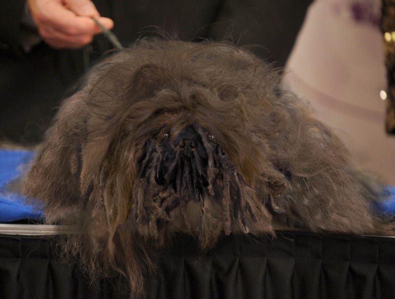 Illustration for article titled Pekingese Really Letting Self Go Since Winning Westminster