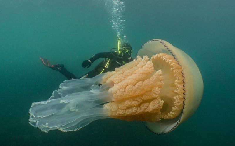 Salen a bucear y se encuentran con una medusa gigante del tamaño de un humano