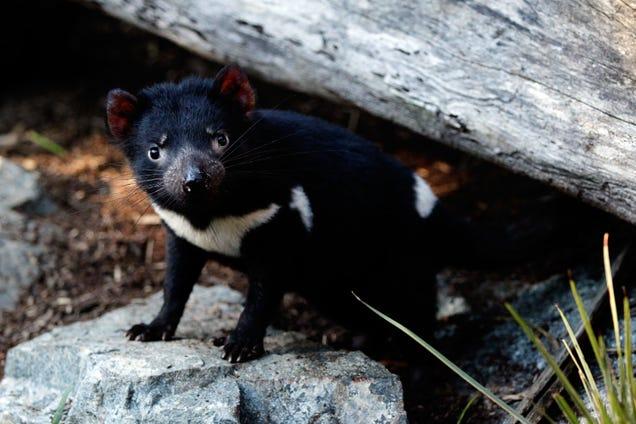 Conservation Project Goes Awry as Tasmanian Devils Start Killing Penguins