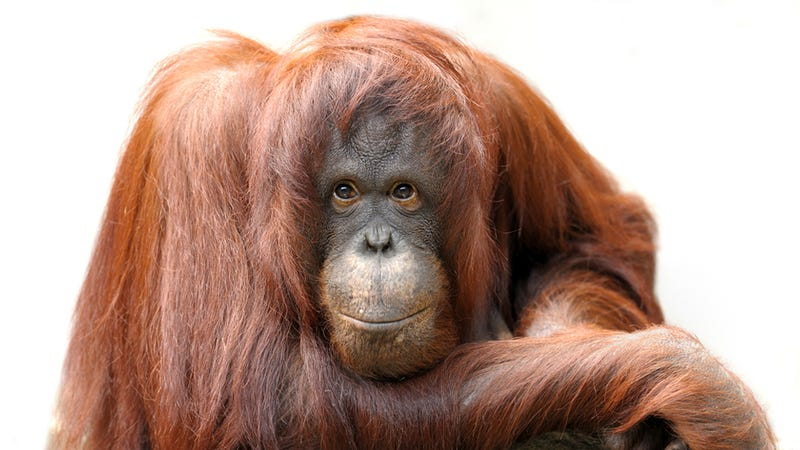 Illustration for article titled Orangutans Join the iPad Generation