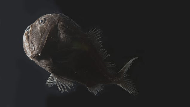Scientists Unlock the Secret to Ultra-Black Skin of Deep-Sea Fish