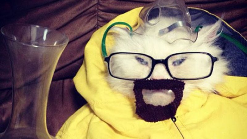 Illustration for article titled Here's a picture of a cat dressed up as Breaking Bad's Walter White