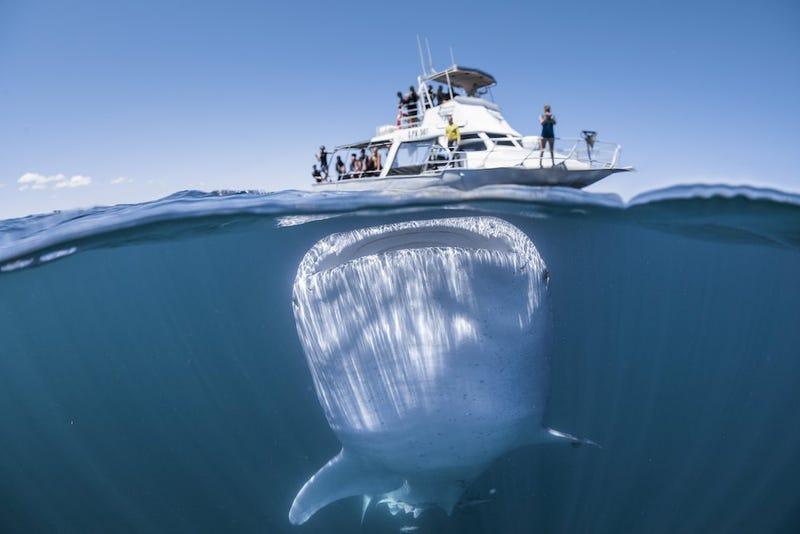 Illustration for article titled Esta escalofriante imagen de un gigantesco tiburón ballena nadando bajo un bote es en realidad una ilusión óptica