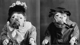 Illustration for article titled 1905 photographs of bulldogs dressed like humans were eerie and/or adorable