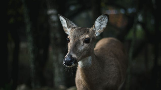 How Much Should You Worry About  Zombie  Deer?
