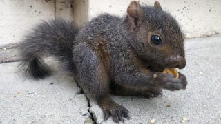 Illustration for article titled Orphaned baby squirrel crisis averted