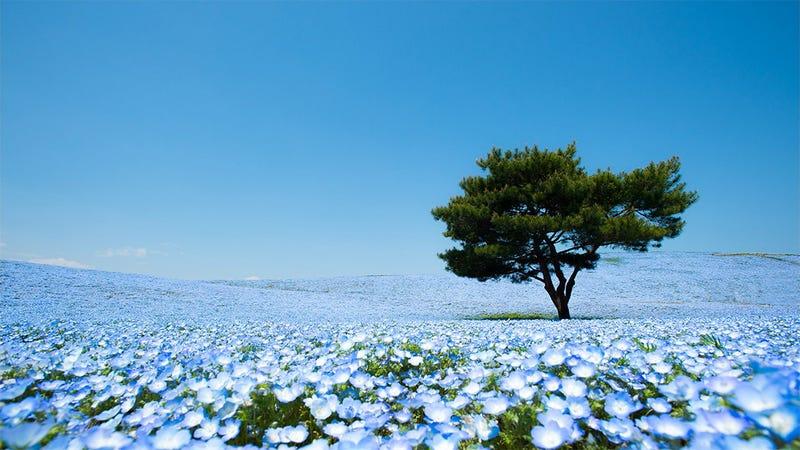 Illustration for article titled A never-ending ocean of 4.5 million flowers in Japan
