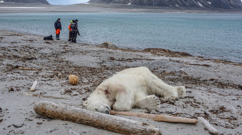 A polar bear shot on the archipelago of Svalbard, Norway, on July 28th, 20178