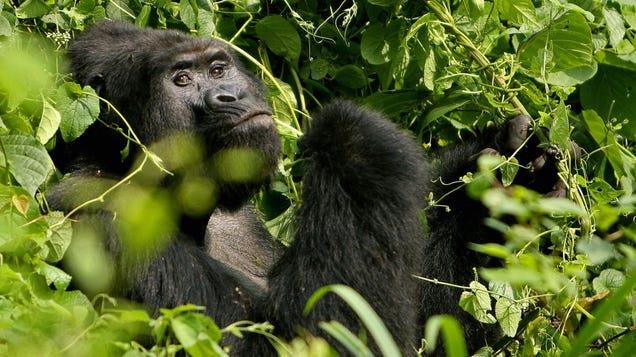 Poacher Who Killed a Rare Gorilla Sentenced to 11 Years in Prison