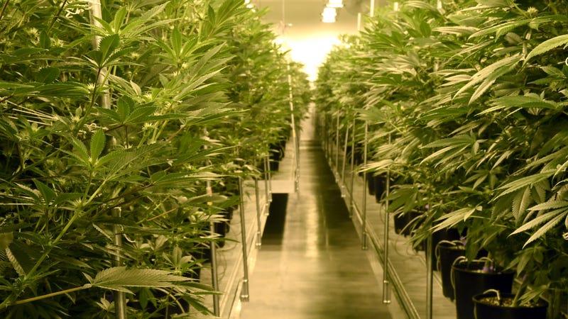 A marijuana cultivation facility in Las Vegas, Nevada. Photo: Getty