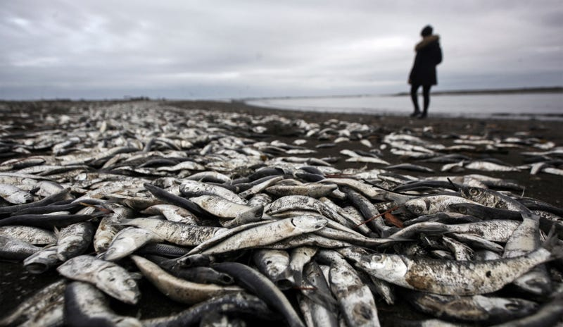 An algal bloom killed these sardines in Chile in 2016