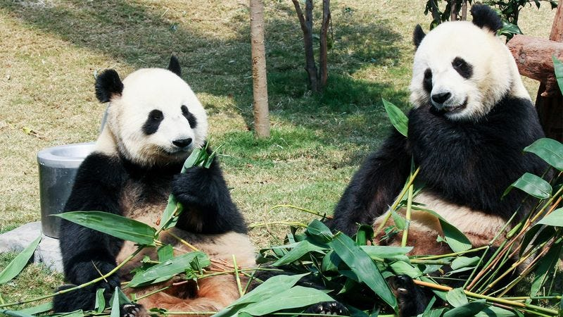 Illustration for article titled National Zoo Announces Giant Pandas To Divorce