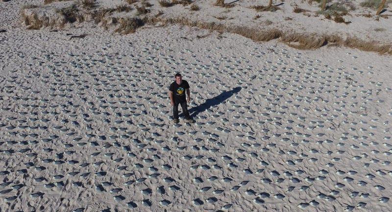 Lead study author Jarrod Hodgson earning his PhD on a beach with thousands of fake plastic birds. Image: Jarrod Hodgson