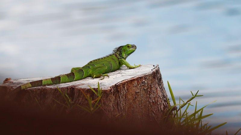 Una iguana verde en Pembroke Pines, Florida.