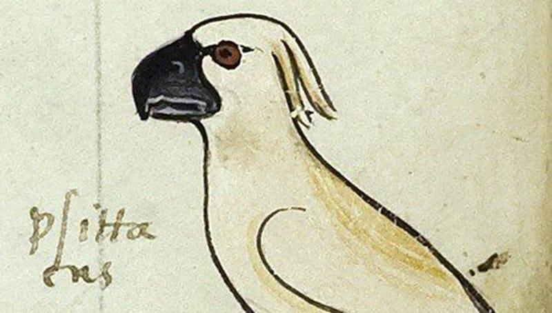 El Dibujo De Una Cacatúa Australiana En Un Libro Del Siglo Xiii