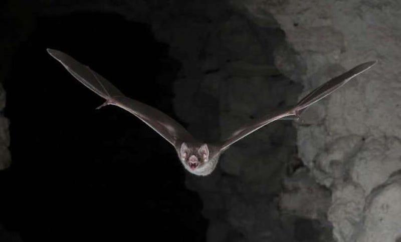 Murciélago vampiro. WC