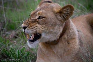 Illustration for article titled Photo Safari: Lions