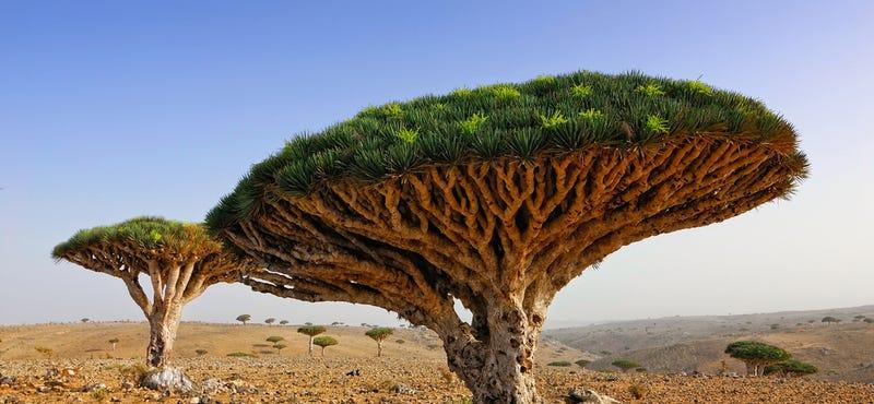 Illustration for article titled Así es Socotra, la isla de las especies perdidas (y muy, muy raras)