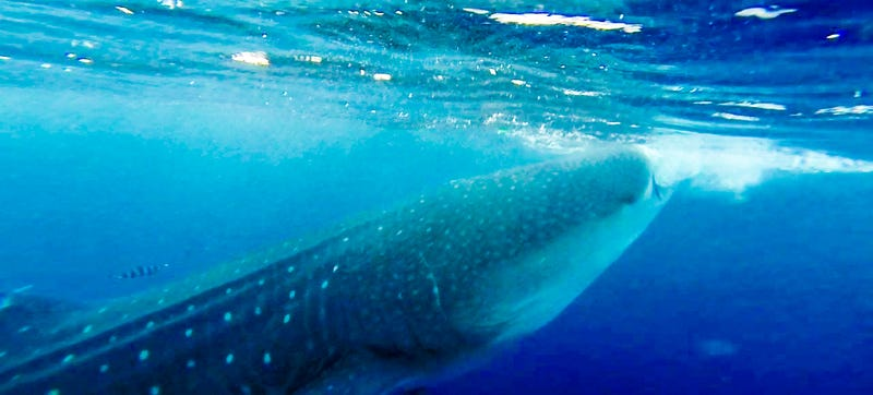 Image result for whale shark new york