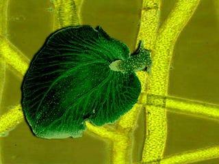 Illustration for article titled Kleptoplast Slug Steals Plant Genes and Lives on Sunlight