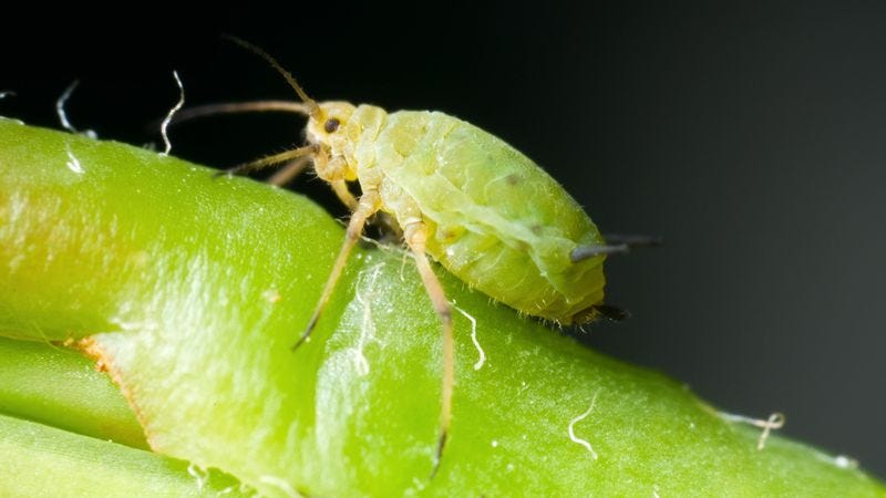 Illustration for article titled Zoo Posting Hourly Updates On Aphid About To Give Birth